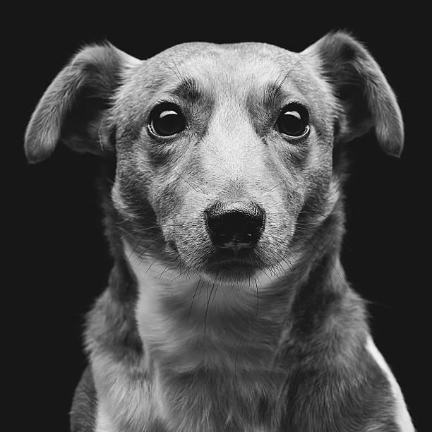 Jack russell terrier – zdjęcie