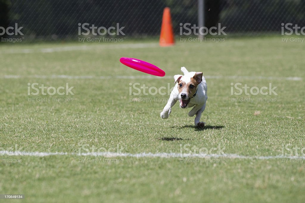 Jack Russell Terrier playing frisbee royalty-free stock photo