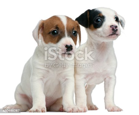 885056264 istock photo Jack Russell Terrier puppies, 7 weeks old 450485287