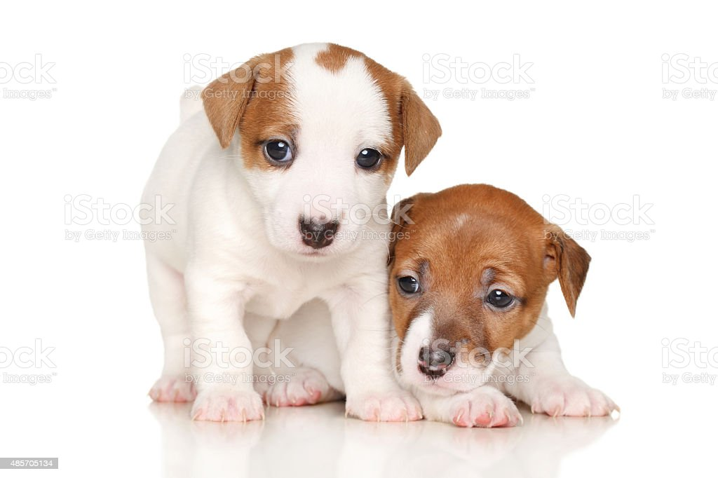 Jack Russell Terrier Puppies Stock Photo Download Image Now Istock