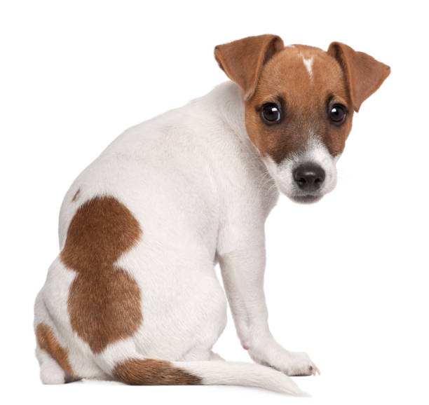 Jack russell terrier puppy 3 months old sitting in front of white picture id879041386?b=1&k=6&m=879041386&s=612x612&w=0&h=lvqgwipvucs1qhq69khxvkatsgndpuyg23p46ihfvsq=