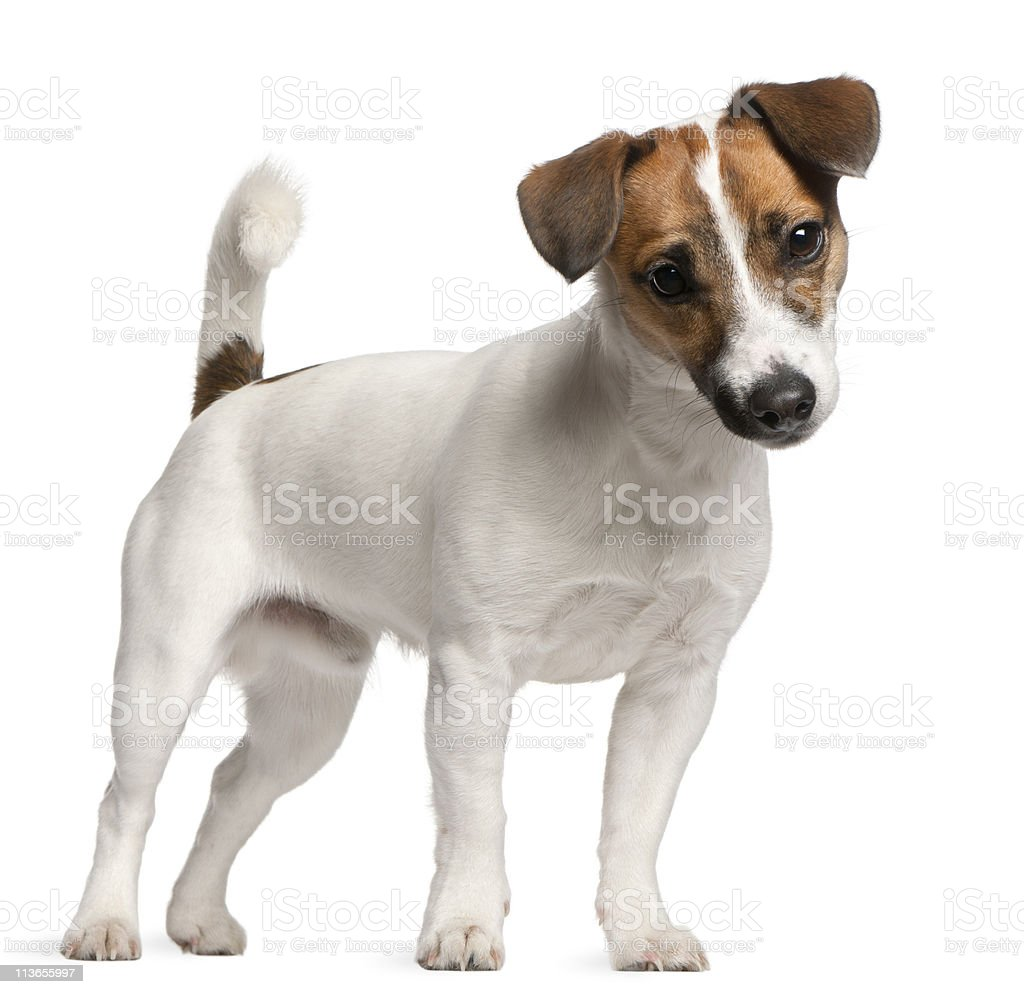 Jack Russell Terrier puppy, 7 months old, standing, white background stock photo