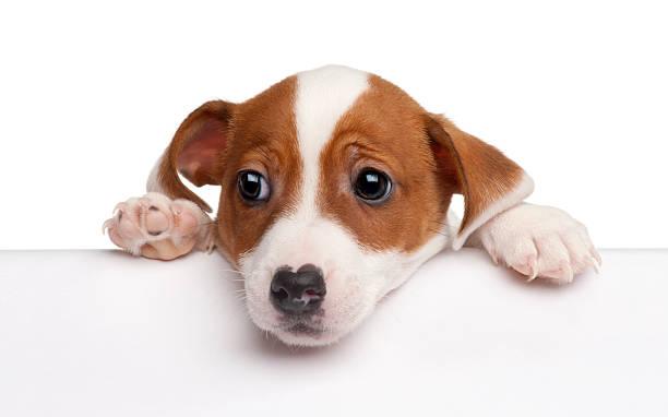 jack russell terrier hund über weiße banner - schlechte laune sprüche stock-fotos und bilder