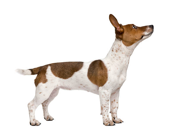 Jack russell terrier puppy against white background picture id118551542?b=1&k=6&m=118551542&s=612x612&w=0&h=g7jrb54tsoiqvtgqrk2 egsm 1nn2tw4jheev7yzuag=