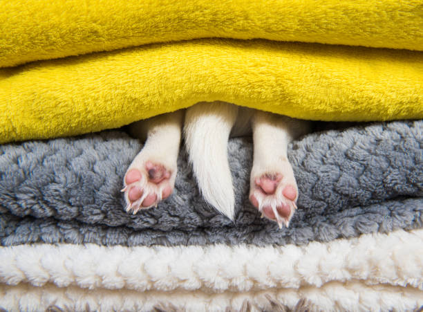 Jack Russell Terrier puppy dog paws and tail is sleeping under the blanket in bed. stock photo