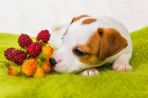 Jack Russell Terrier puppy dog with berries stock photo