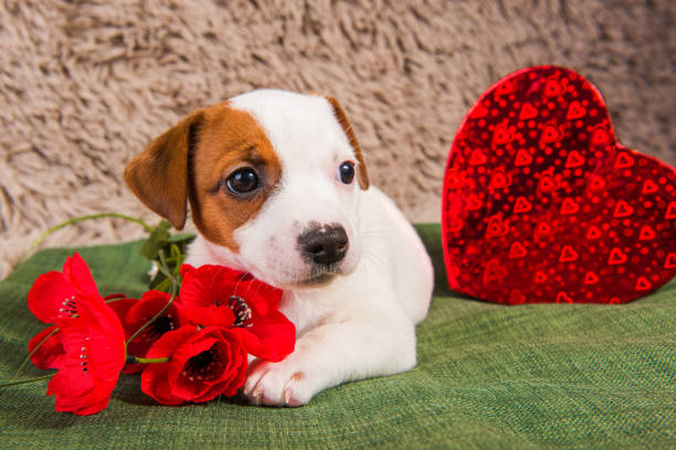 Jack Russell Terrier puppy dog with red heart. stock photo