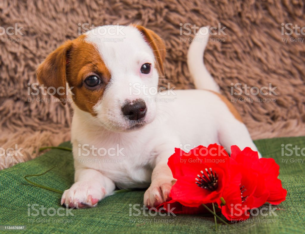 Jack Russell Terrier Puppy Dog With Red ...