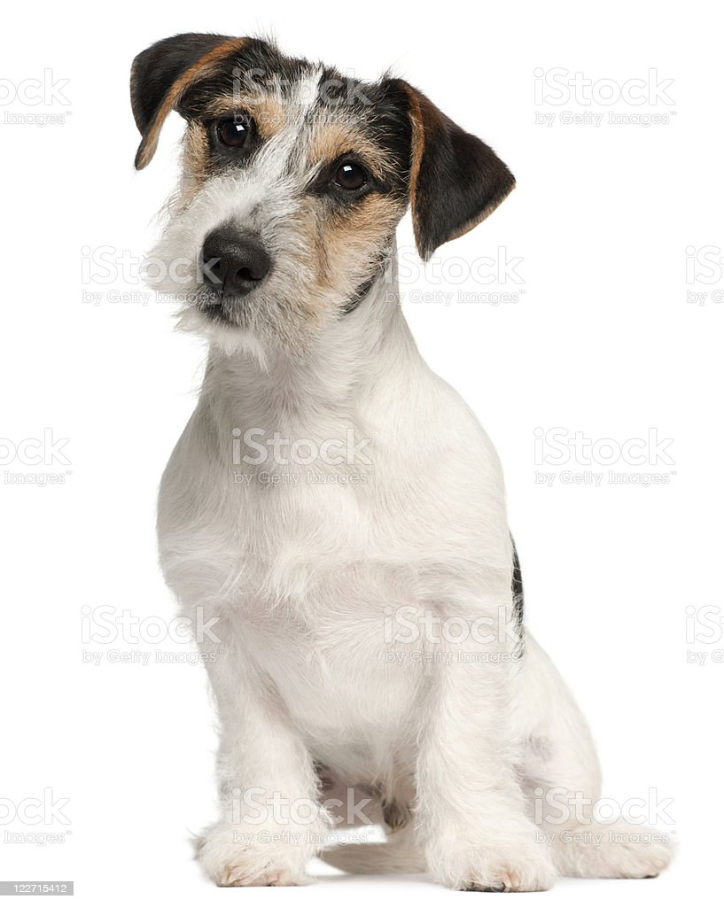 Jack Russell Terrier puppy, five months old, sitting, white background stock photo