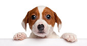 istock Jack Russell Terrier puppy, getting out of a box 120251710