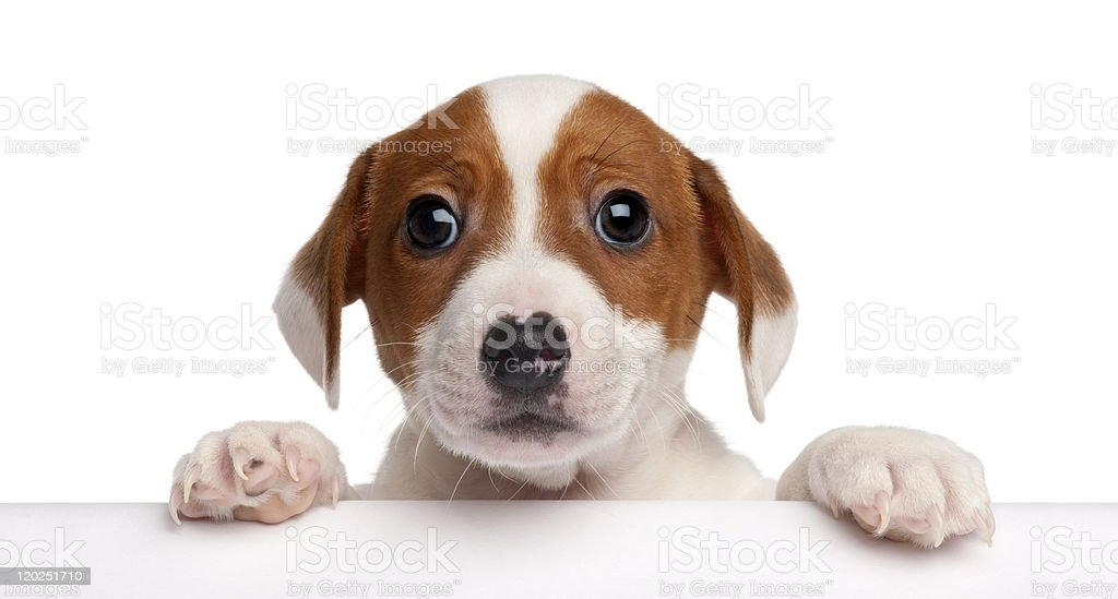 Jack Russell Terrier puppy, getting out of a box stock photo