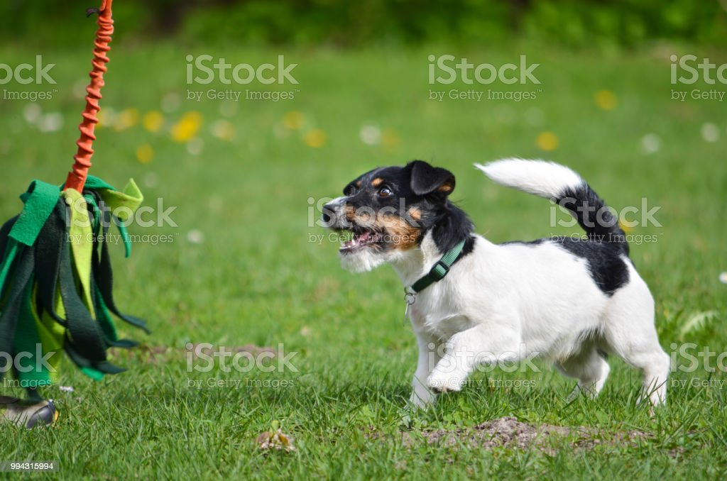 Jack Russell Terrier Puppy Is Playing With A Toy Stock Photo