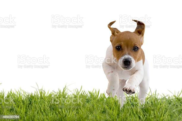Jack russell terrier puppy jumping on meadow picture id469093294?b=1&k=6&m=469093294&s=612x612&h=vo0cbxf1pounndnbtwhp0ykqabvzhmbxcdige0tu8 4=