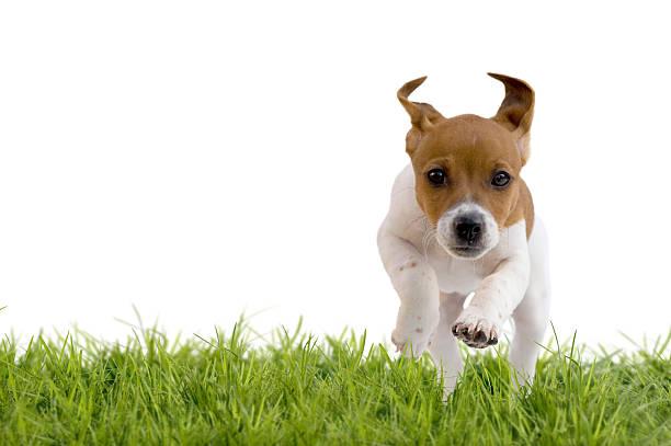 Jack russell terrier puppy jumping on meadow picture id469093294?b=1&k=6&m=469093294&s=612x612&w=0&h=srfzpkvzthwk lko57anrq4wvjy27ltiuptktvu b4u=