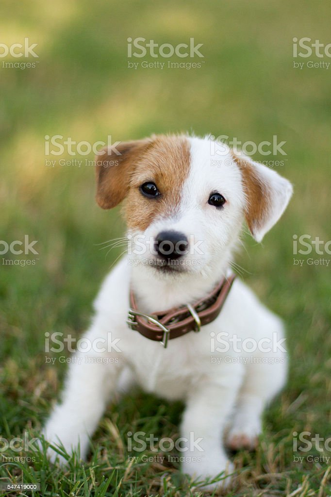 Jack Russell Terrier Puppy on grass stock photo