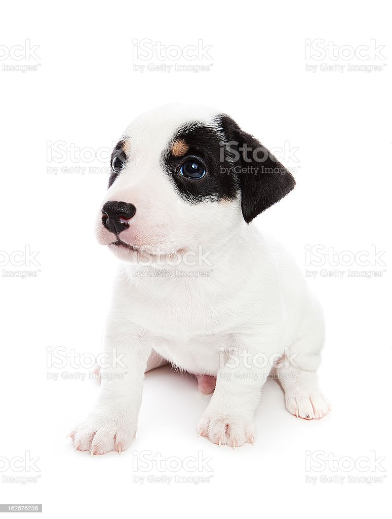 Jack Russell Terrier puppy royalty-free stock photo