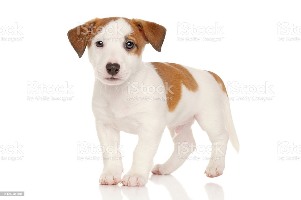 Jack Russell Terrier Puppy Stock Photo - Download Image Now