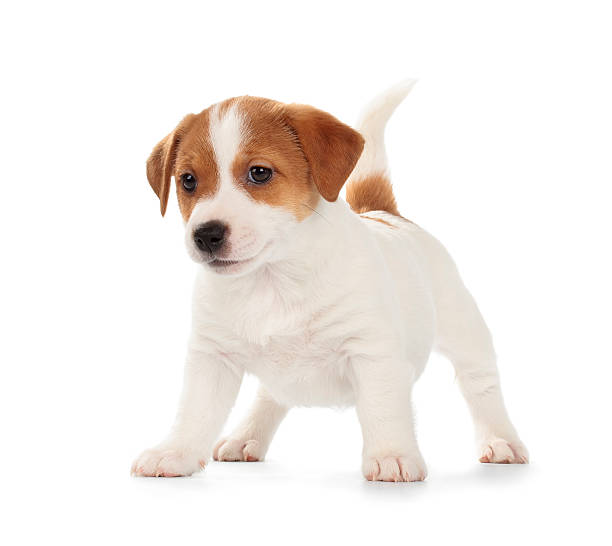 Jack Russell Terrier Chiot - Photo