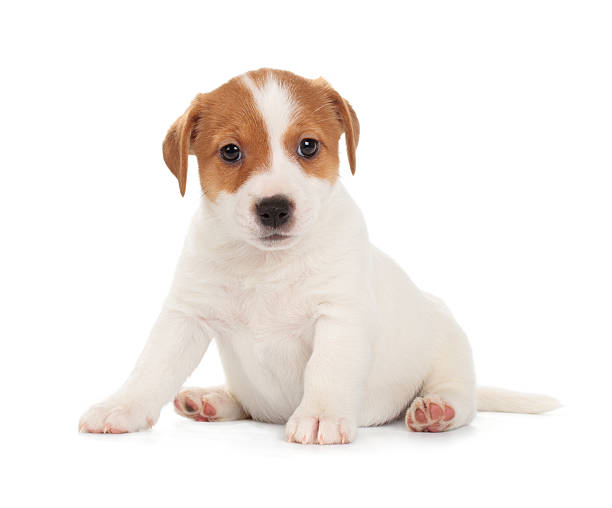 Jack Russell Terrier puppy Jack Russell Terrier puppy isolated on white background. Front view, sitting. newborn animal stock pictures, royalty-free photos & images