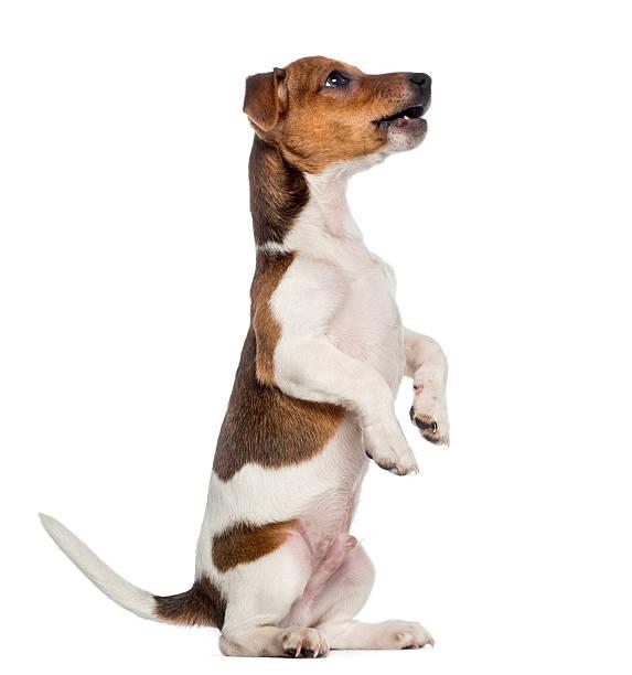 Jack russell terrier puppy sitting pretty picture id489088641?b=1&k=6&m=489088641&s=612x612&w=0&h=5nu lg6ijurpharyzimujyfiblf6lq3npqi5xv7ovr8=