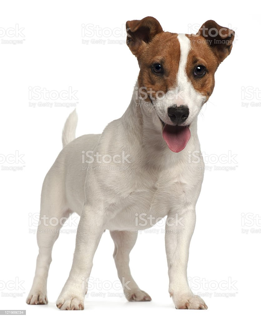Jack Russell Terrier puppy, six months old, standing, white background. stock photo