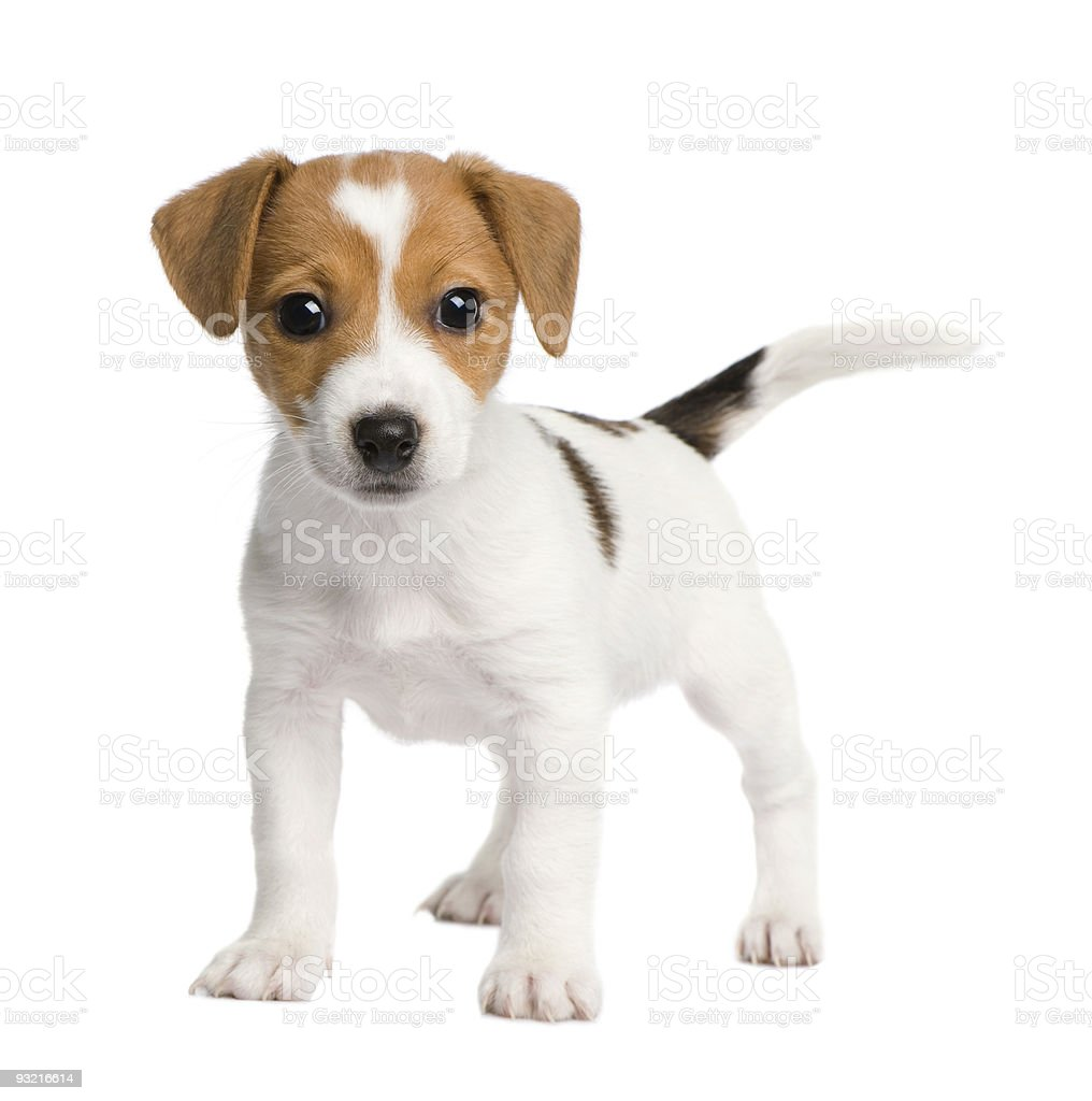 Jack Russell terrier puppy wagging tail isolated on white stock photo