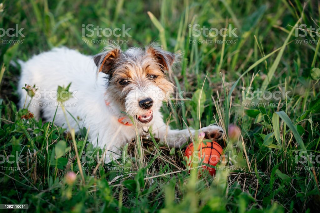 Jack Russell Terrier Puppy With Long Hair Stock Photo