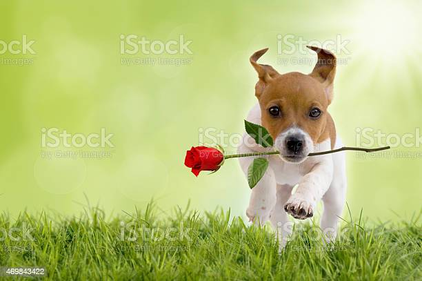Jack russell terrier puppy with red rose picture id469843422?b=1&k=6&m=469843422&s=612x612&h=nvqphilj33vpxlrh5j kvhnq6tfql5df gm2lpxt08i=