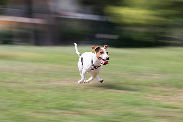 Jack russell terrier running at a park. stock photo