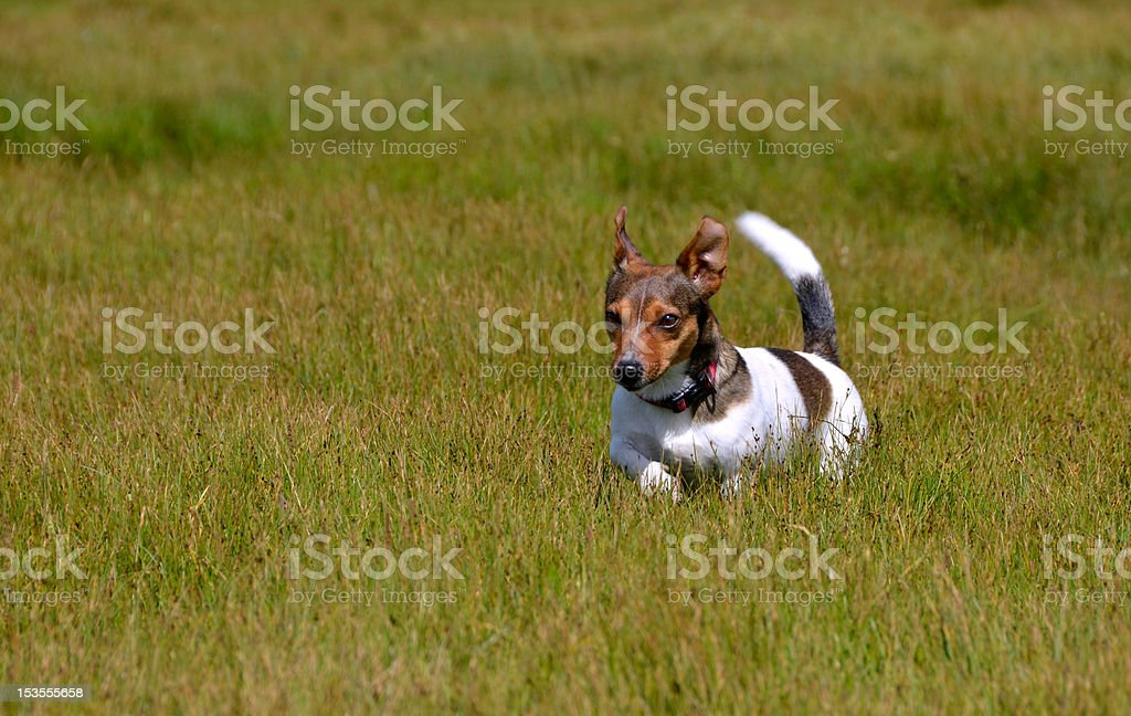 Jack Russell Terrier Running in the Grass Field royalty-free stock photo
