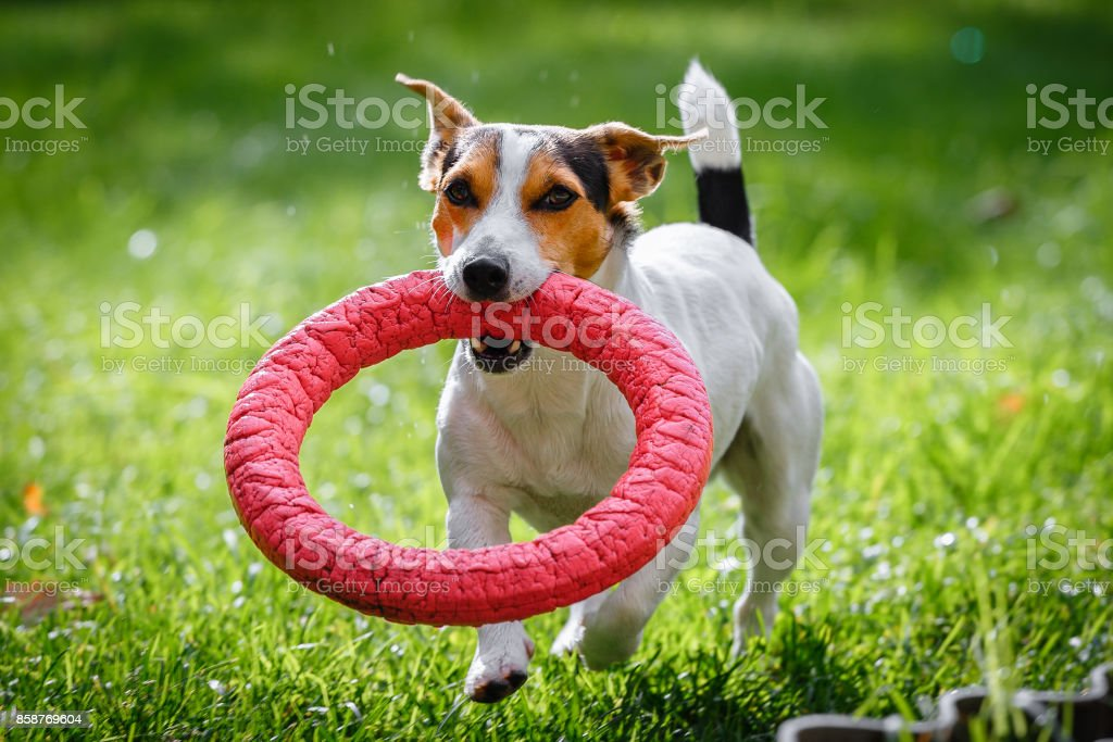 Jack Russell Terrier running witn toy stock photo