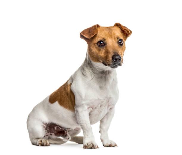 Jack russell terrier sitting isolated on white picture id859711762?b=1&k=6&m=859711762&s=612x612&w=0&h=q1tyg5jjceypgkoaogiscpdousm1aub tixhcgkidxy=