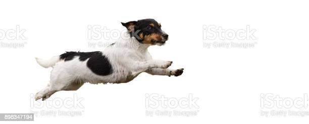 Jack russell terrier small cute dog running and jumping isolated on picture id898347194?b=1&k=6&m=898347194&s=612x612&h=5w1jyoe8vzprhfqcppohuds6q8nze 7y5 nlhg5tmqy=