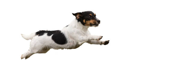 Jack Russell Terrier - Small cute dog running and jumping isolated on white background Jack Russell Terrier - Small cute dog running and jumping isolated on white background taking the plunge stock pictures, royalty-free photos & images