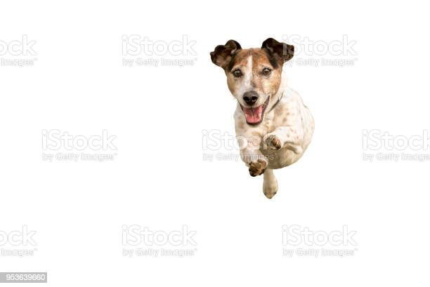 Jack russell terrier small cute dog running and jumping isolated on picture id953639660?b=1&k=6&m=953639660&s=612x612&h=c gcgryzdhf0lyolk2naaaq09e4ay wfwt oazbq2pc=