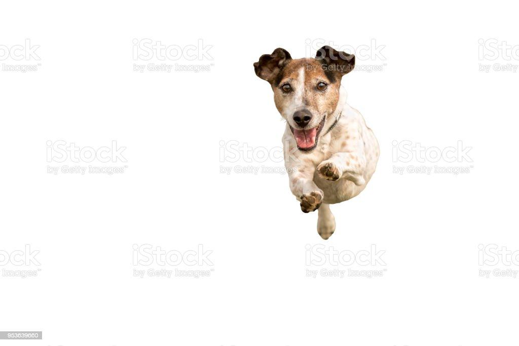 Jack Russell Terrier - kleine süße Hund laufen und springen isolierten auf weißen Hintergrund – Foto