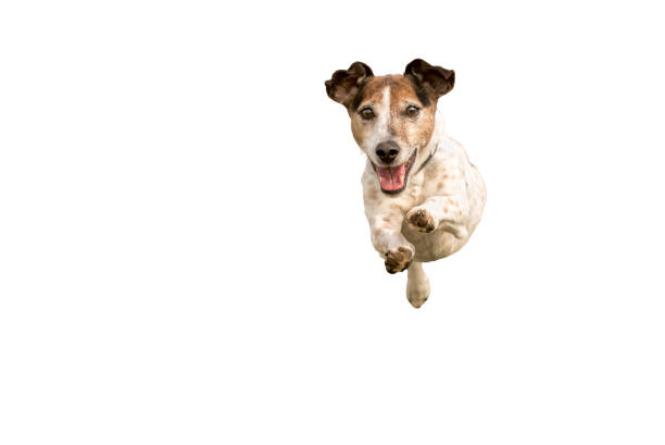 jack russell terrier - small cute dog running and jumping isolated on white background - dog jumping stock photos and pictures