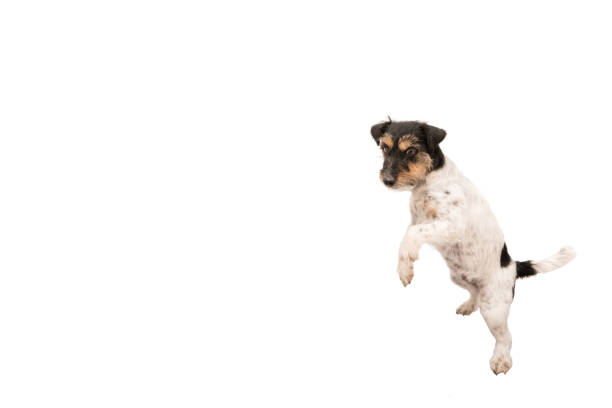 Jack russell terrier small dog is dancing and standing on his hind picture id958882818?b=1&k=6&m=958882818&s=612x612&w=0&h=m8xmyicroowqtjrit44pmrkhdi7rnomjayf5idpjeeq=