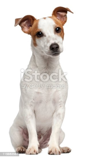 Jack Russell Terrier, ten months old, sitting in front of white background.