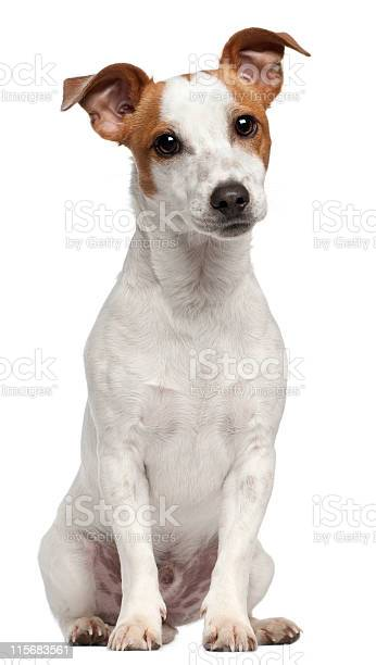 Jack russell terrier ten months old sitting white background picture id115683561?b=1&k=6&m=115683561&s=612x612&h=b1eawmlbnblllklk7 yedbqfflefevo92zdy5gfe0do=