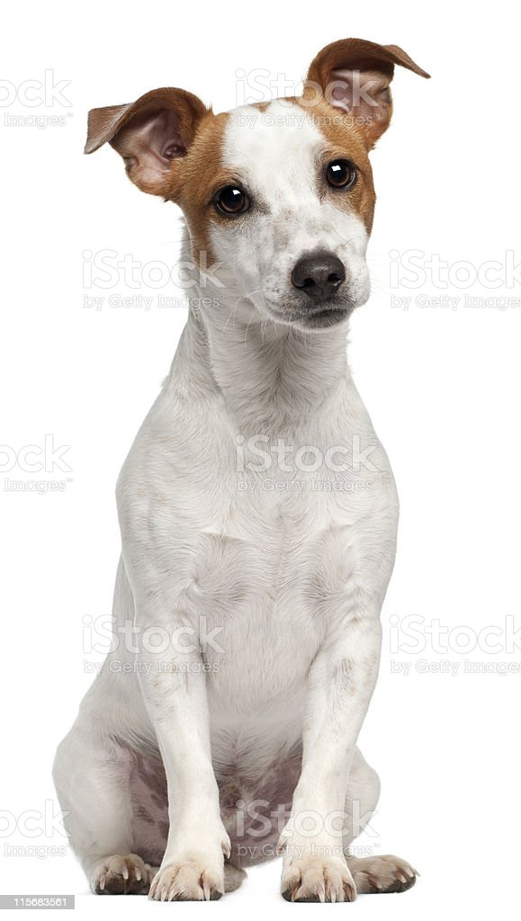 Jack Russell Terrier, ten months old, sitting, white background. stock photo
