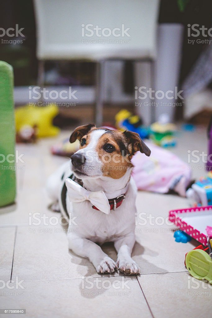 jack russell terrier with a bow tie after party - Photo