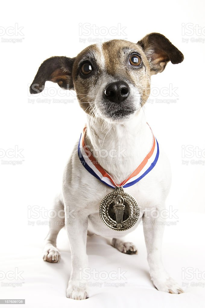 Jack Russell Terrier with A Gold Medal royalty-free stock photo
