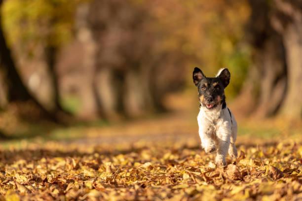 Jack Russell Terrier. Junger niedlicher Hund läuft schnell durch eine Baumallee im Wald – Foto