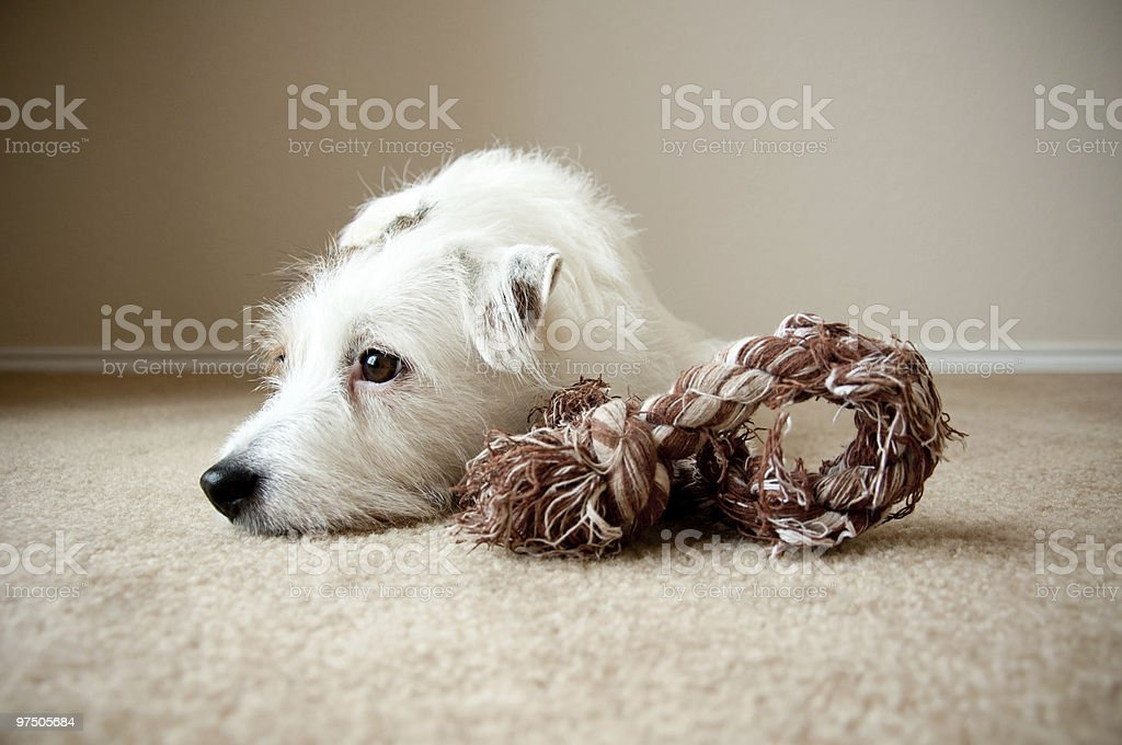 Jack Russell with rope toy royalty-free stock photo