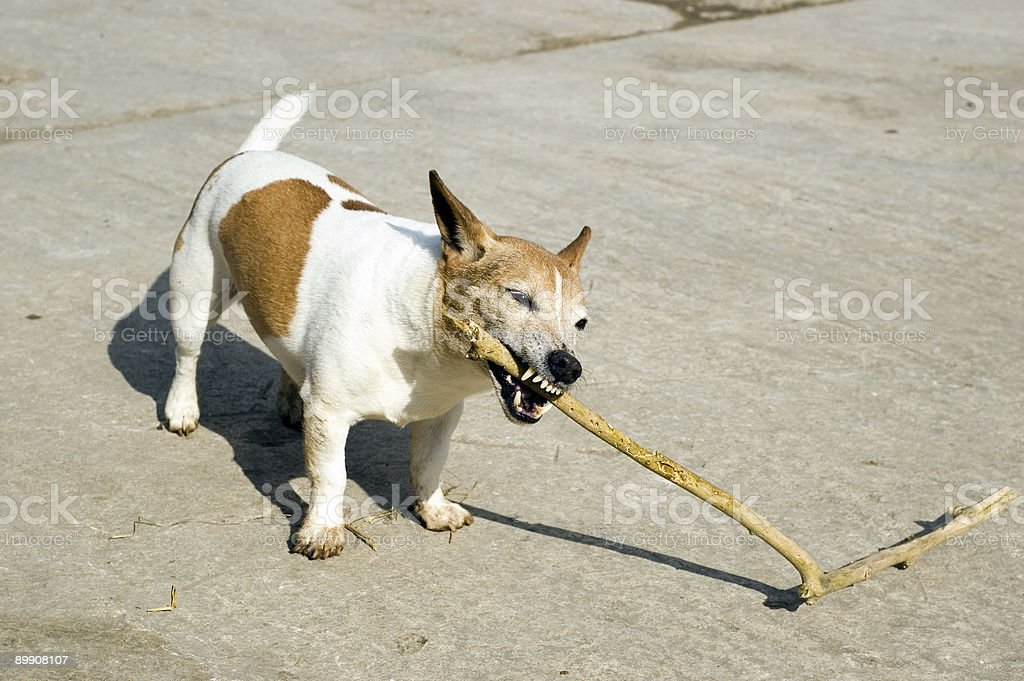 Jack Russell con Stick foto stock royalty-free