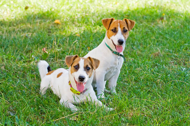 Jack russells puppies are played with each other picture id1023780156?b=1&k=6&m=1023780156&s=612x612&w=0&h=sztongospl2qubnyhiwdtnx uwf 9mtt6g5yy4 ende=