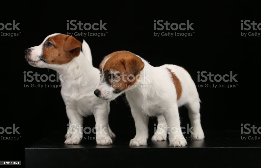 Jack russells puppies looking aside. Close up. Black background stock photo