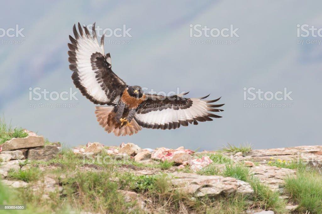 Jackal buzzard landing on a rocky mountain in strong wind stock photo