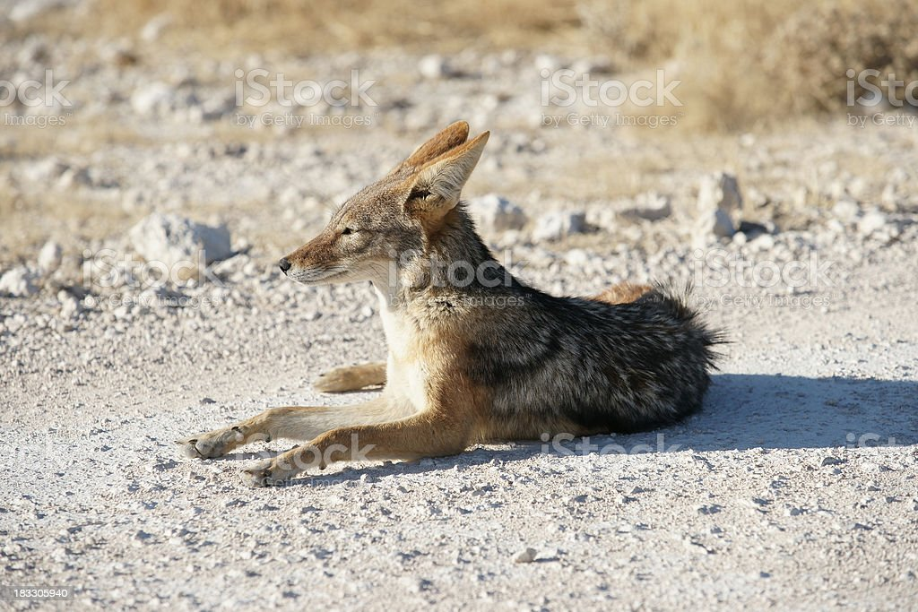 Jackal In Namibia Africa Stock Photo More Pictures Of Africa Istock